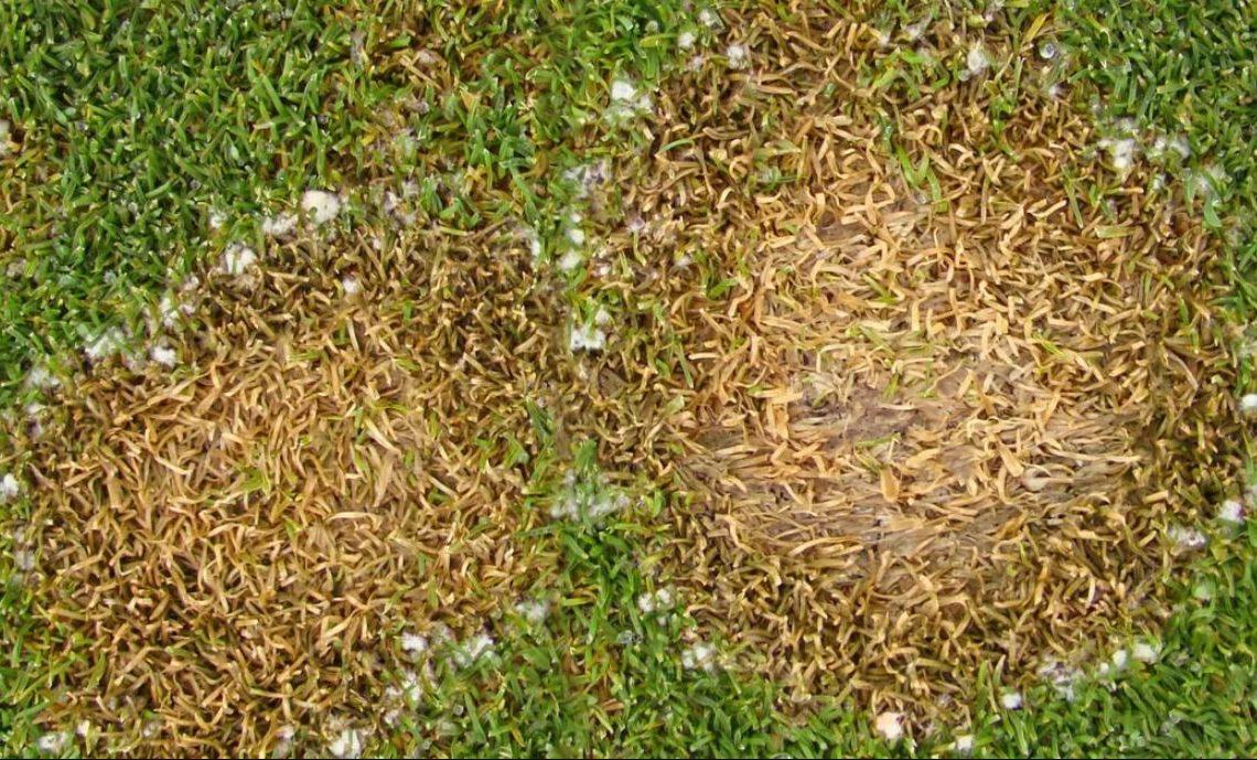 Sneeuwschimmel gras